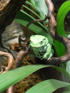 A sinister green frog stares suggestively out from a nest of leaves and branches