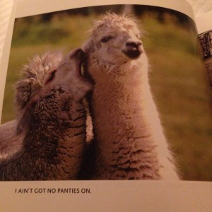 "A color photo in a picture book of two llamas, one with it mouth open by the other's ear. Caption reads ""I AIN'T GOT NO PANTIES ON"""