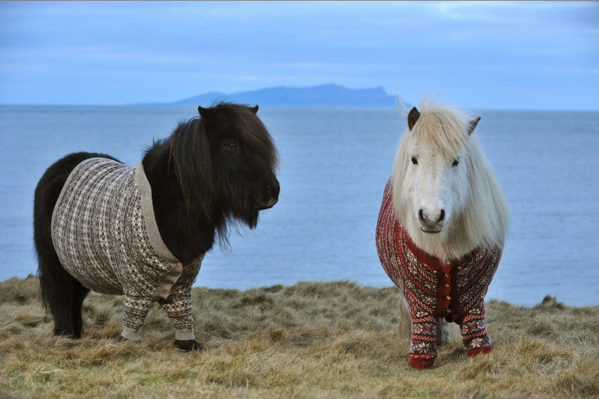 Two Shetland ponies stand on a seaside cliff. The dark brown pony wears a buttoned up, tan colored Fair Isle cardigan and the white pony wears a red Fair Isle patterned cardigan.