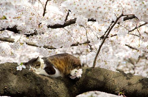 A white and orange tortoiseshell cat snoozes on a tree limb in a flowering tree covered in blooms.