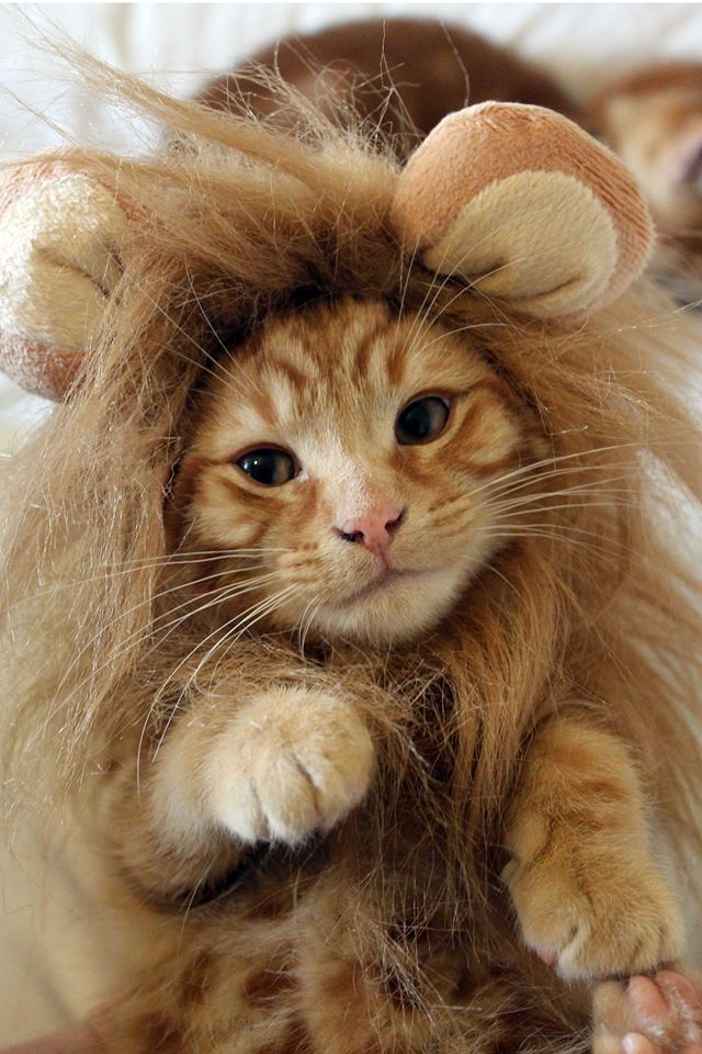 A close up of a yellow tiger cat wearing a lion's mane.