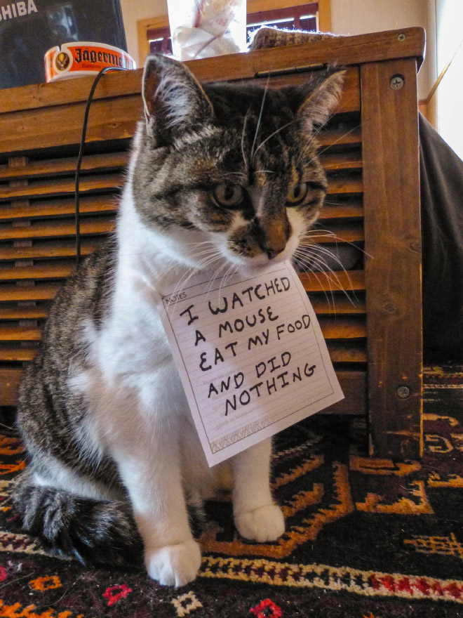 "A grey and white cat sits on a floor wearing a note that says ""I watched a mouse eat my food and did nothing."""