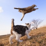 An action shot of a striped tiger cat leaping over a brown and white cat standing in a field.