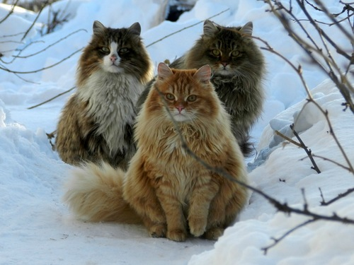 Three fluffy cats sit outside in the snow on a sunny winter day