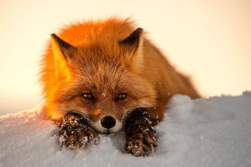 A red fox crouches in the snow with the afternoon sun on his right.