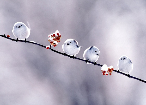 Four unbelievably cute little white fluffy birds perch on a branch of bittersweet that has a dusting of snow on it.