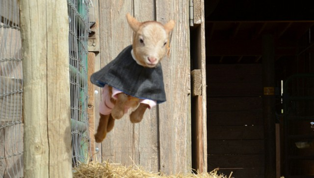 A leaping, fawn-colored goat wearing a pink sweater under a blue jacket.