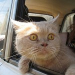 A tan cat with yellow eyes open wide looks out through an open car window like in a scene from the movie Fear and Loathing in Las Vegas.